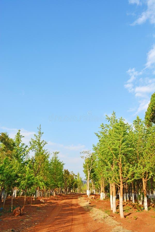 Ginko skog royaltyfria foton
