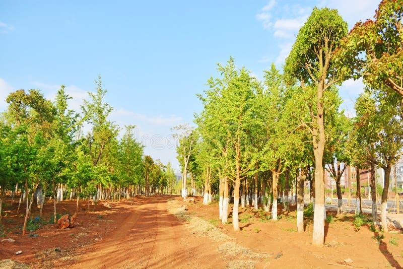 Ginko skog royaltyfri foto