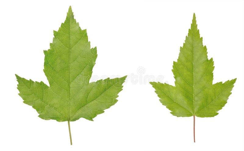 Ginnala de Acer ou folhas de bordo de Amur isoladas no fundo branco fotografia de stock