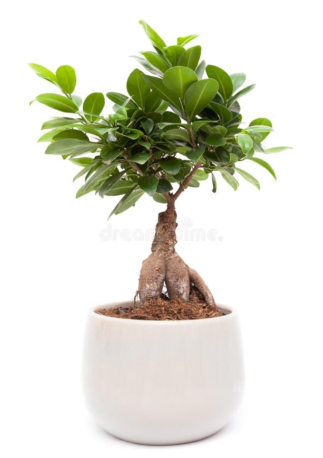 Ginseng de ficus - arbre de bonsaïs photographie stock libre de droits