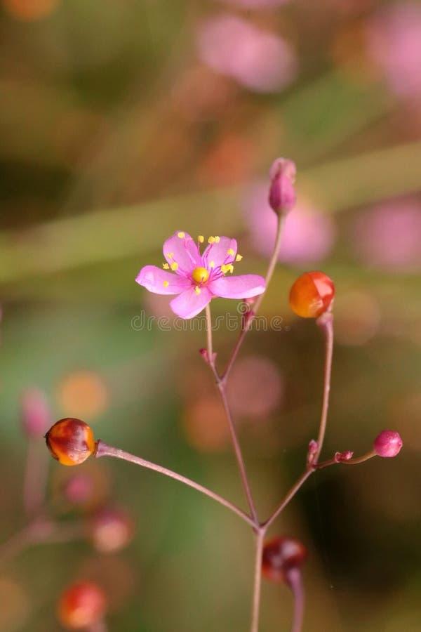 Ginseng kwiat zdjęcie stock