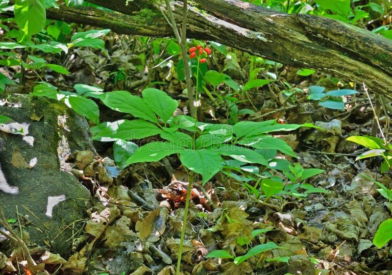 Ginseng (Panax ginseng) 1 στοκ εικόνες