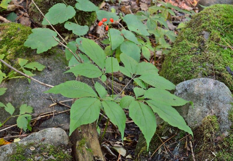 Ginseng (Panax ginseng) 3 zdjęcia stock