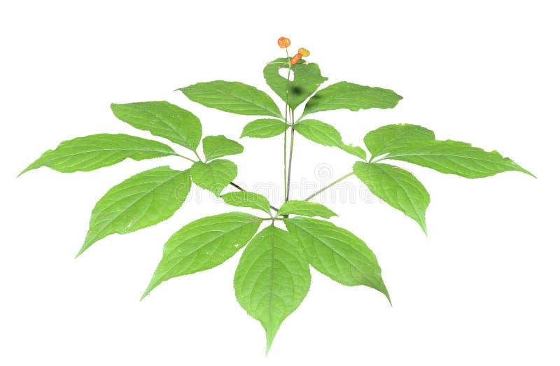 Ginseng (Panax ginseng) 15 fotografia royalty free