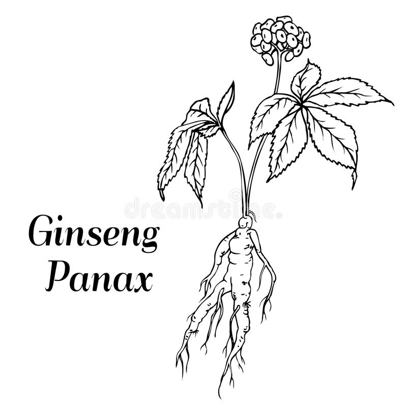 Ginseng panax skissar royaltyfri illustrationer