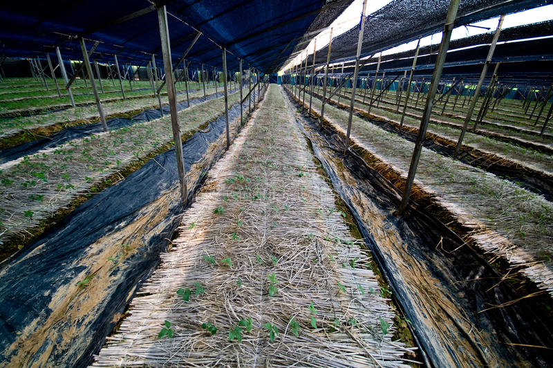 Ginseng plantation