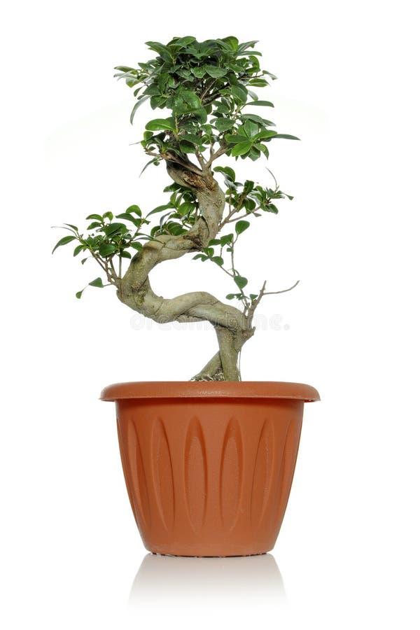 Ginseng suculento de los ficus de la planta verde en un pote con un tronco curvado fotografía de archivo