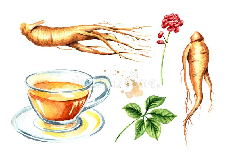 Ginseng tea set, Ginseng root, leaf, flower, concept of healthy drink. Watercolor hand drawn illustration isolated on white backg. Round royalty free illustration