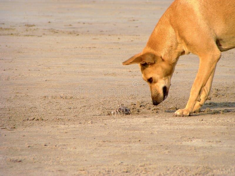 Giochi del cane con il granchio in goa dell'India immagini stock
