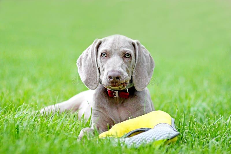 Giochi del cane nel cucciolo Weimaraner del ritratto dell'erba fotografie stock