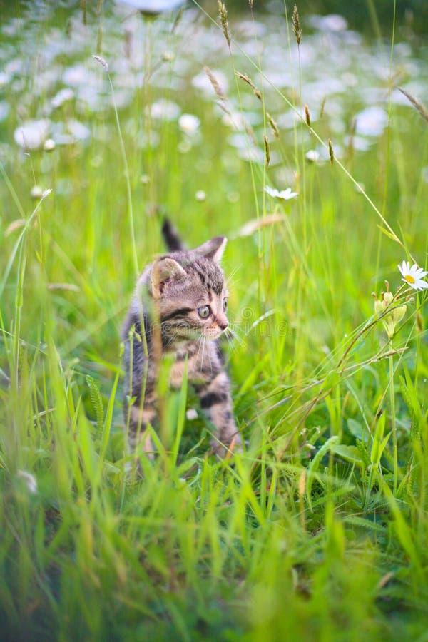 Giochi del gattino in un'erba immagini stock