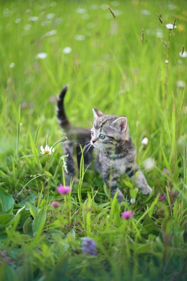 Giochi del gattino in un'erba fotografie stock