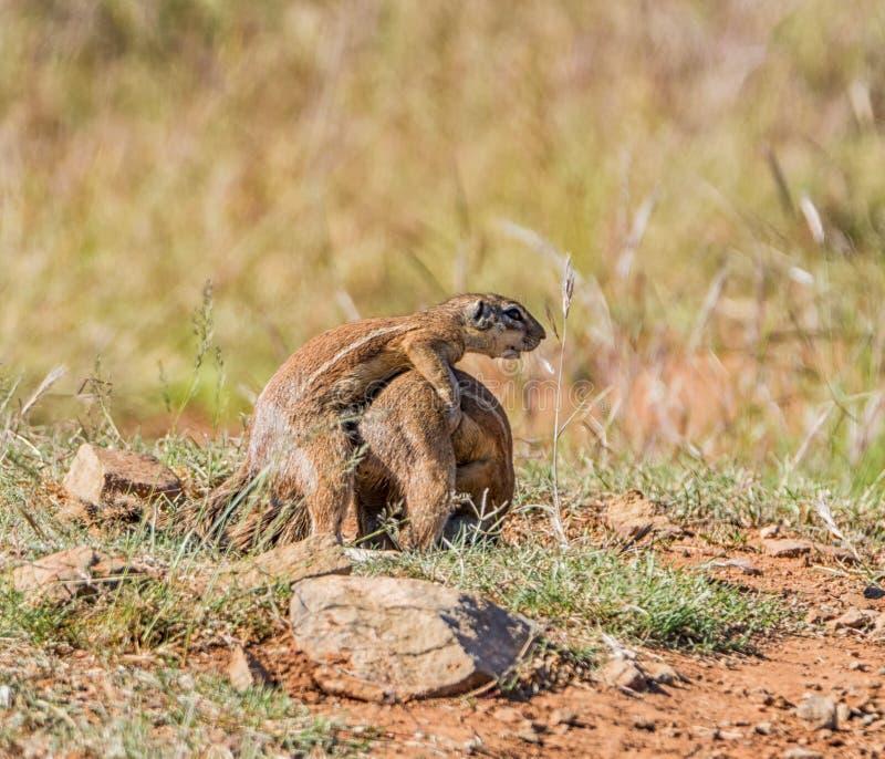 Gioco africano degli scoiattoli a terra fotografia stock libera da diritti