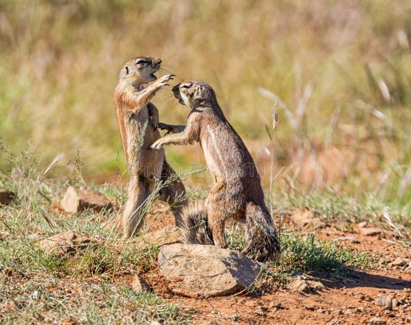 Gioco africano degli scoiattoli a terra immagini stock libere da diritti