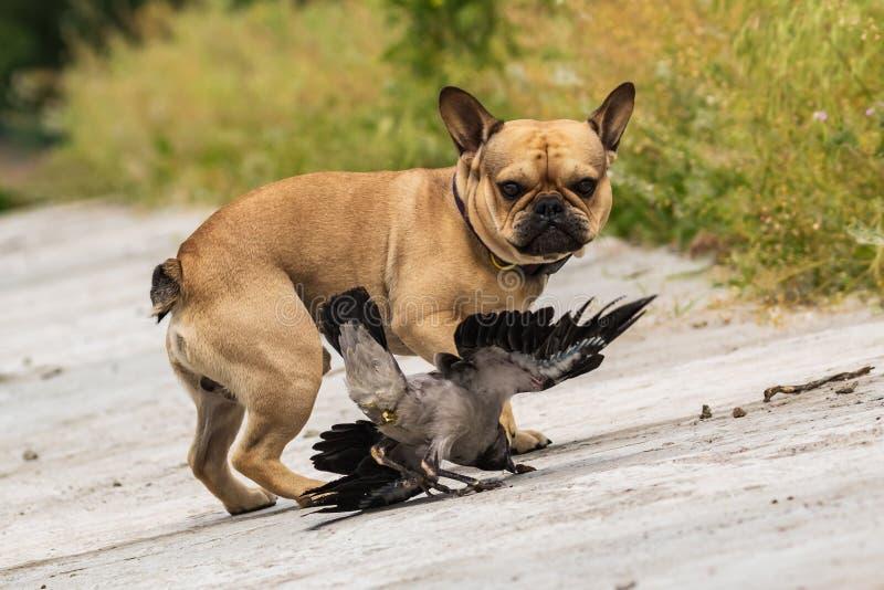 Gioco amichevole del contatto di giovane cucciolo e di piccolo corvo Giovani corvo e canino fotografia stock libera da diritti