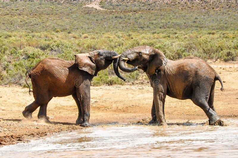 Gioco degli elefanti fotografia stock