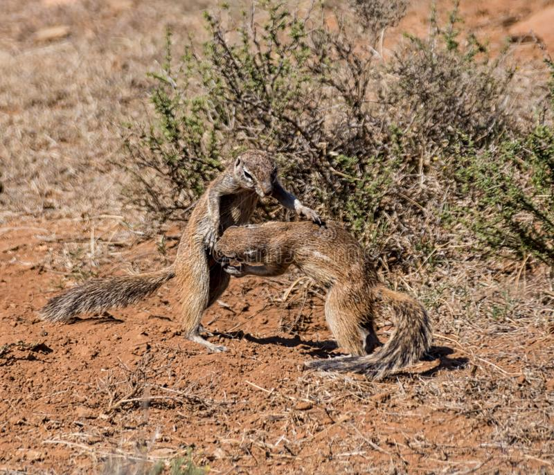 Gioco degli scoiattoli a terra fotografie stock libere da diritti
