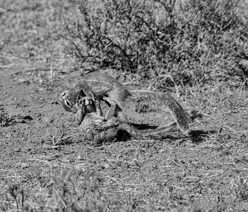 Gioco degli scoiattoli a terra fotografia stock