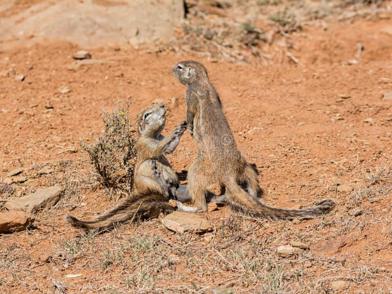 Gioco degli scoiattoli a terra immagine stock