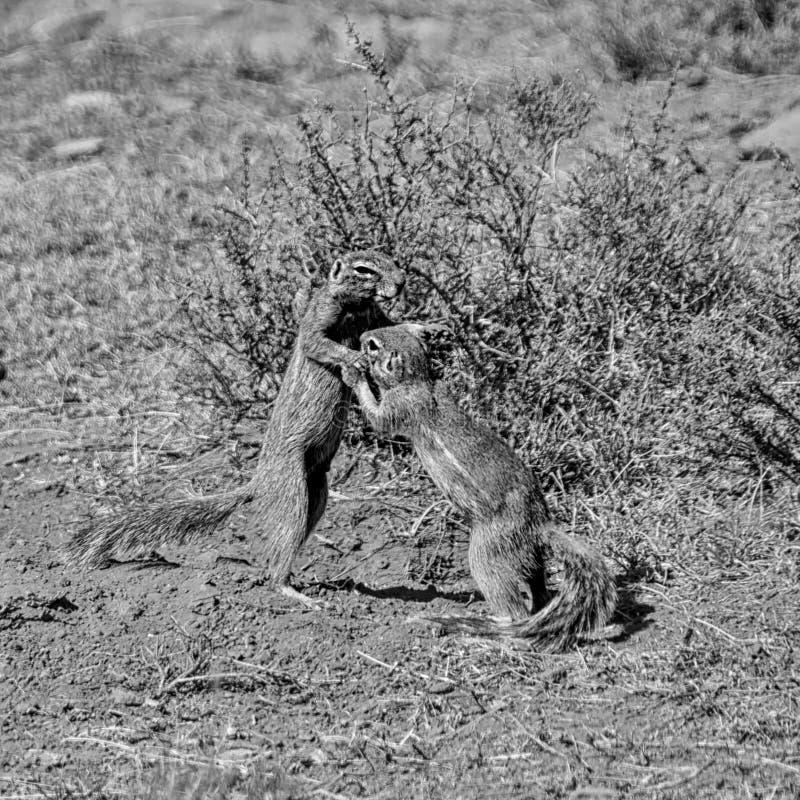 Gioco degli scoiattoli a terra fotografie stock