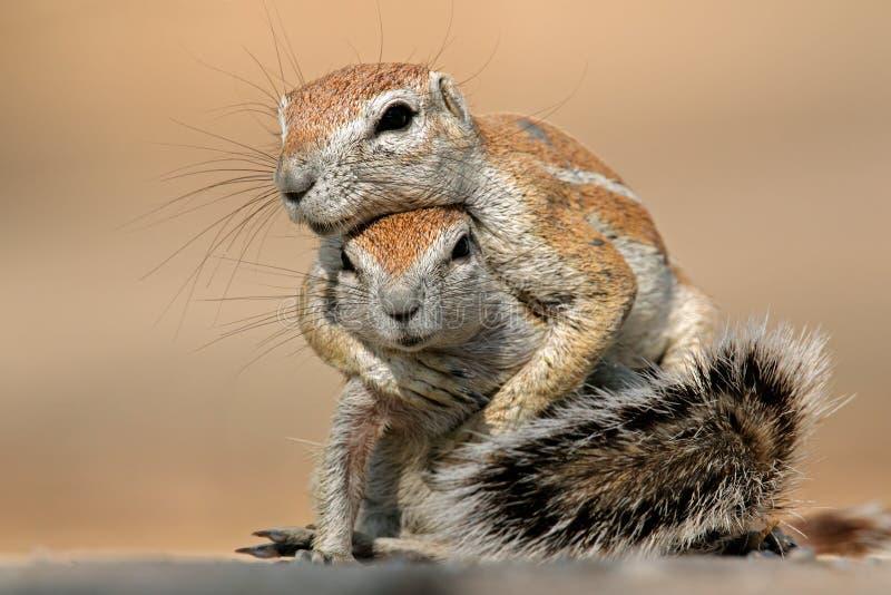 Gioco degli scoiattoli a terra fotografia stock libera da diritti