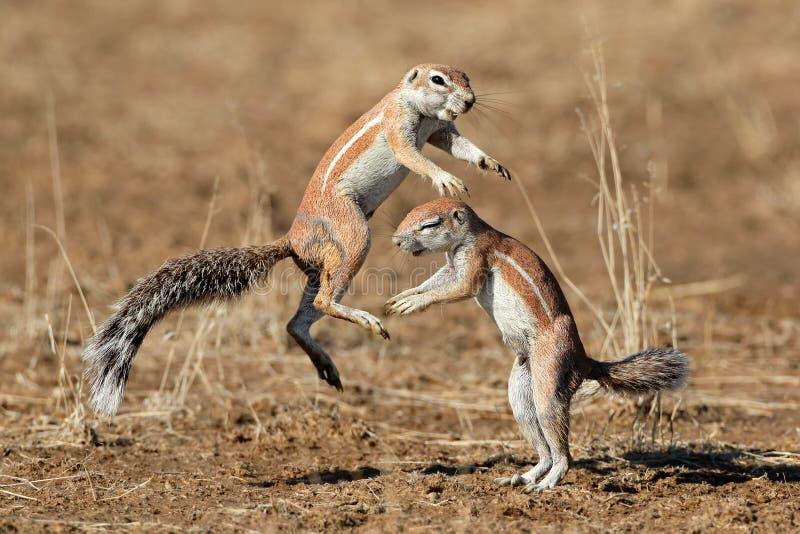 Gioco degli scoiattoli a terra immagini stock libere da diritti