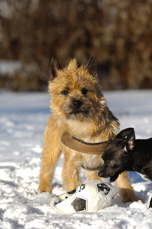 Gioco dei cani immagini stock