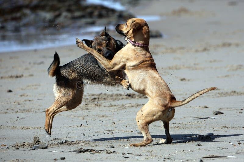 Gioco dei cani ruvido fotografie stock