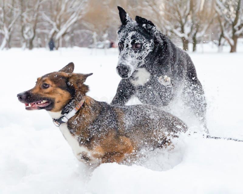 Gioco dei cani a vicenda fotografie stock