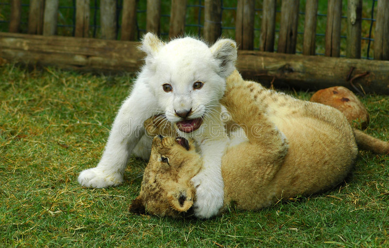 Gioco dei cubs di leone fotografia stock libera da diritti