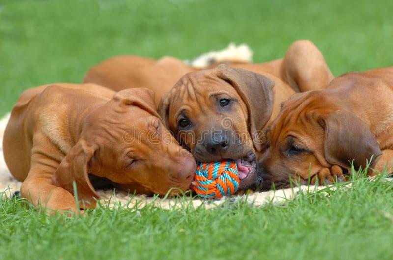 Gioco dei cuccioli fotografie stock libere da diritti