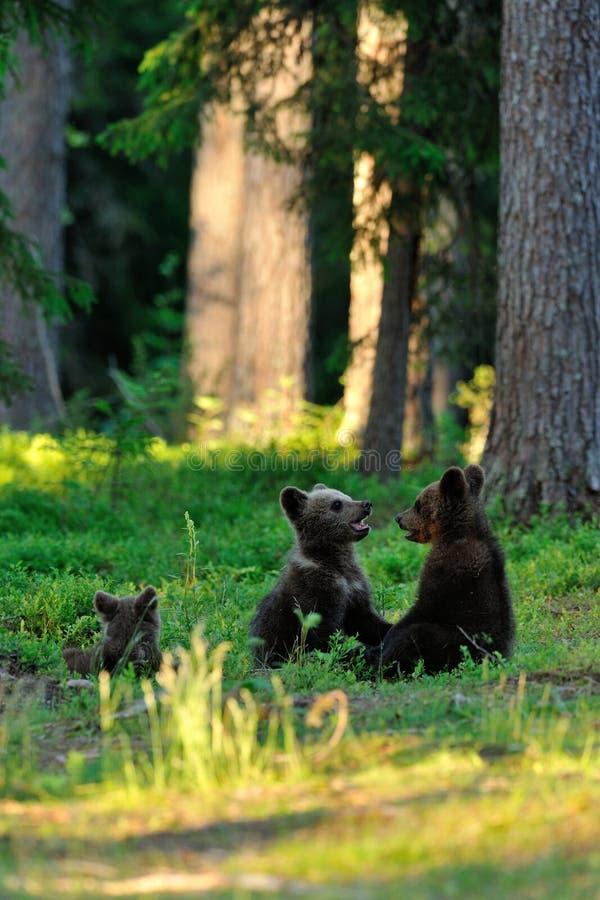 Gioco dei cuccioli di orso di Brown fotografia stock
