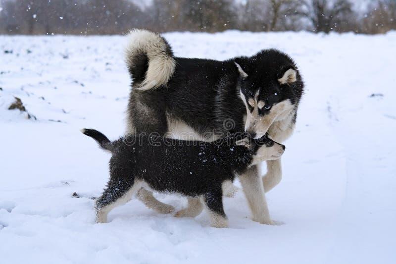 Gioco dei husky fotografie stock libere da diritti