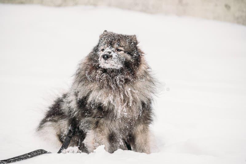 Gioco del cane del Keeshond all'aperto in neve Stagione di inverno Addestramento di cani all'aperto immagine stock