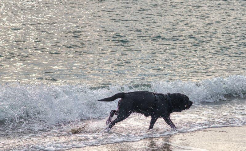 gioco del cane nero con acqua sulla spiaggia immagini stock