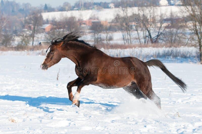 Gioco del cavallo del Brown in inverno fotografie stock