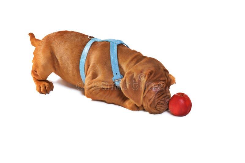 Gioco del Dogue De Bordeaux Puppy immagini stock libere da diritti