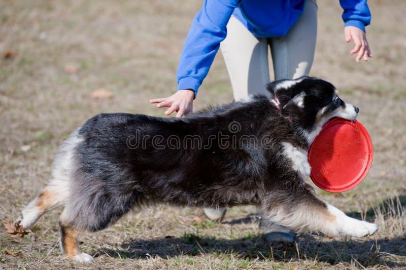 gioco del frisbee del cane fotografie stock libere da diritti