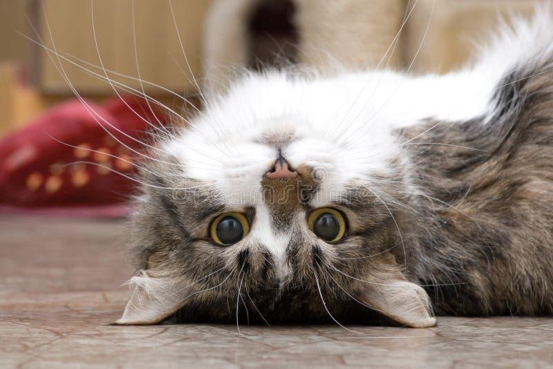 Gioco del gatto immagine stock