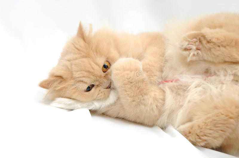 Gioco del gatto persiano fotografia stock