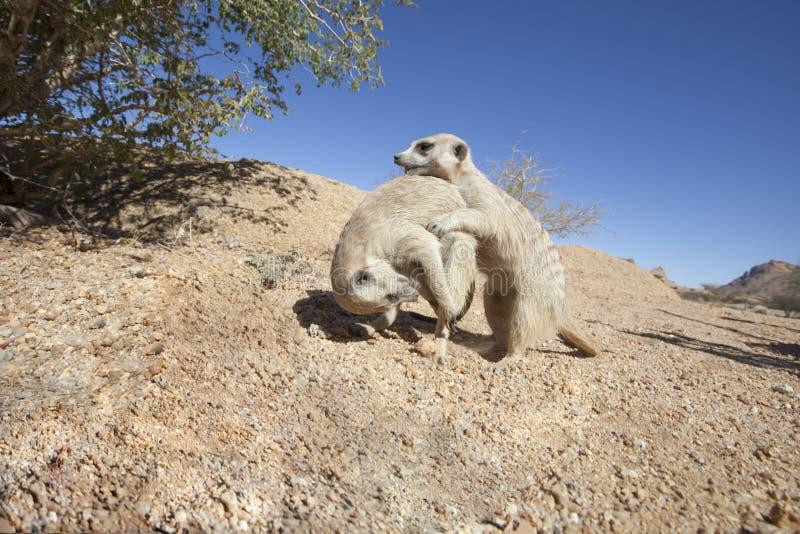 Gioco del meerkat fotografie stock libere da diritti