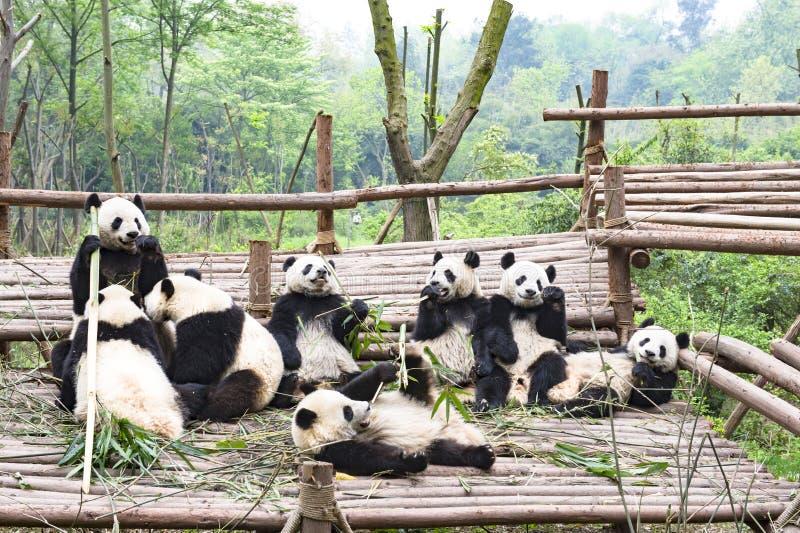Gioco del Panda Bears, Panda Breeding Center, Chengdu, Cina fotografie stock