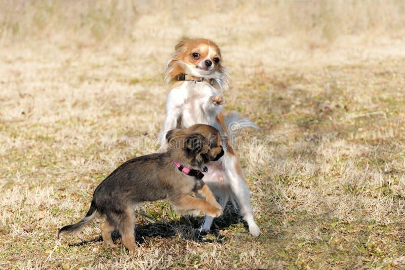 Gioco della chihuahua dei cuccioli fotografia stock