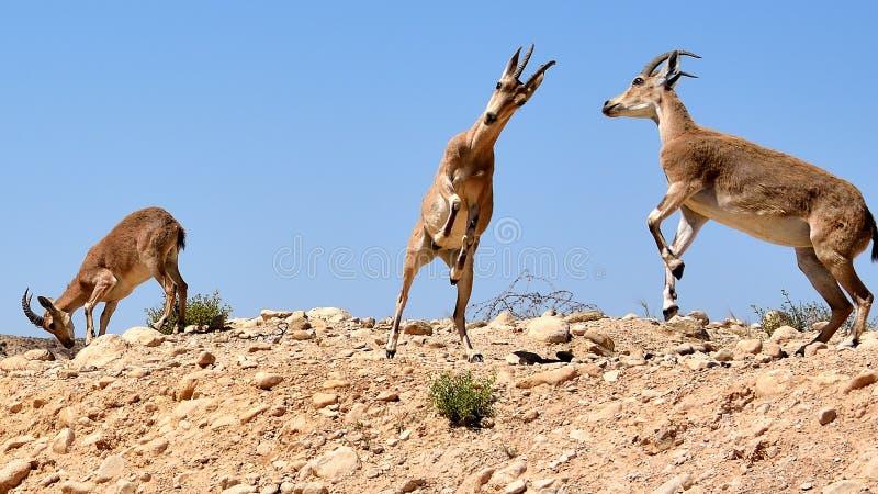 Gioco delle capre del deserto al parco nazionale di Ein Avdat fotografia stock libera da diritti