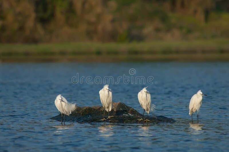 Download Gioco Delle Egrette Nel Tramonto Fotografia Stock - Immagine di animali, predatore: 55358942