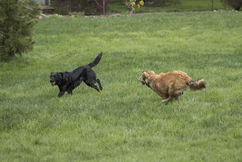 Gioco di due un grande cani immagini stock libere da diritti