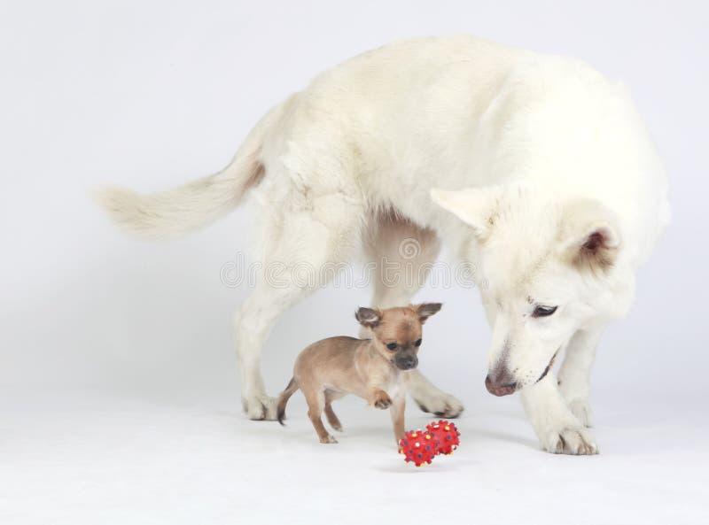 Gioco di sorveglianza della chihuahua del pastore bianco immagini stock libere da diritti