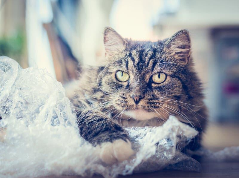 Gioco divertente dolce del gatto con il sacchetto di plastica sopra il fondo dell'appartamento fotografie stock