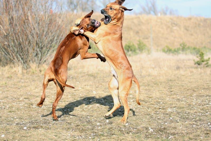 Gioco potente dei cani immagini stock