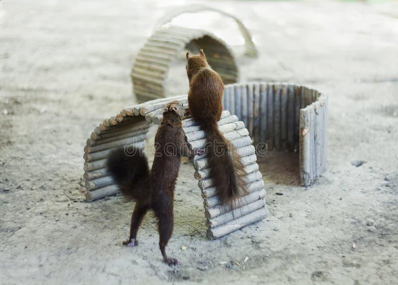 Gioco sveglio degli scoiattoli immagine stock